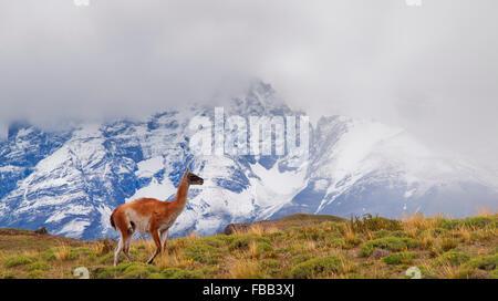 Les guanacos, Parc National Torres del Paine, Patagonie Banque D'Images