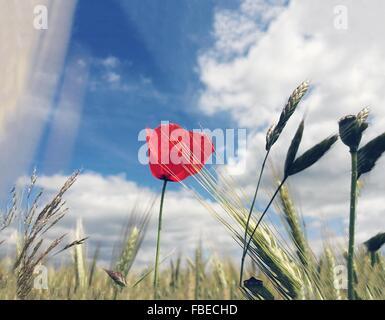 Les plants de blé et de fleurs de fleur rouge contre Ciel nuageux