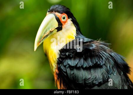 Toucan à vert exotique oiseau dans cadre naturel près d'Iguazu, Foz do Iguaçu, Brésil. Banque D'Images