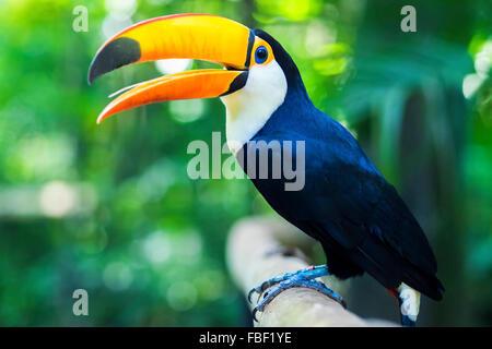 Toucan exotique oiseau dans cadre naturel à Foz do Iguaçu, Brésil. Banque D'Images