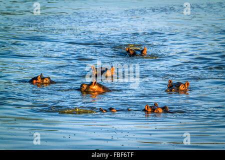 Espèce d'hippopotame Hippopotamus amphibius famille des Hippopotamidae Banque D'Images
