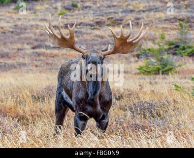 Bull Moose en Alaska pendant le rut d'automne