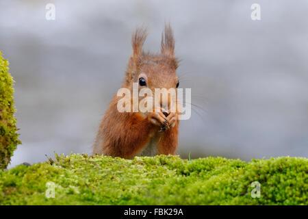 L'Écureuil roux (Sciurus vulgaris) perché par moss couverts bolder aux côtés de l'Cotterbeck Cotterdale, dans le Banque D'Images