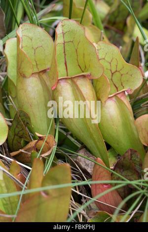 La sarracénie pourpre (Sarracenia purpurea)