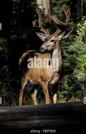 Deux cerfs dans la nature - Homme d'argent avec ses bois de velours Banque D'Images