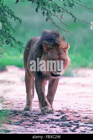 Jeune lion Banque D'Images