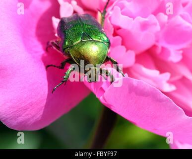 Coléoptère hanneton sur fleur de pivoine macro