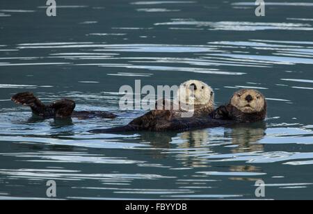 Les loutres de mer de Kenai Fjords National Park Banque D'Images