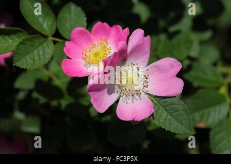 Sweet Briar Rose (Rosa rubiginosa) Banque D'Images