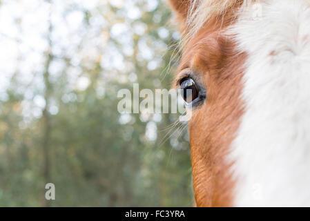 Garder un oeil sur les humains. NOSY BE Un poney New Forest est curieux que je manœuvre pour prendre sa photo. Banque D'Images