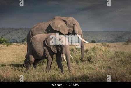 L'éléphant et le pâturage dans le domaine de la savane de veau Banque D'Images
