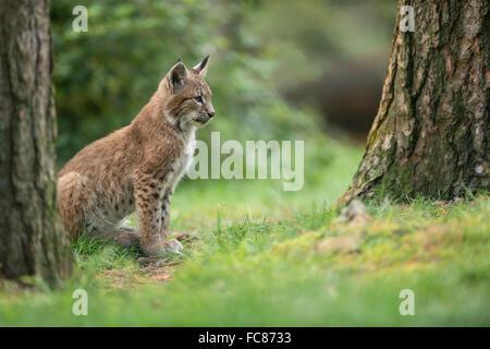Lynx Boréal / Eurasischer Luchs (Lynx lynx), jeune cub, est assis dans l'herbe sous les arbres, l'air concentré. Banque D'Images