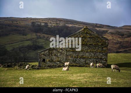 Moutons et ancienne grange en pierre dans le Yorkshire Dales