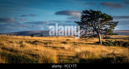 Arbre isolé dans la lumière du soleil du soir à Dartmoor,devon Banque D'Images