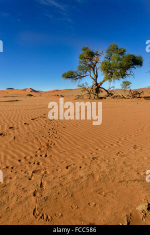 Acacia arbre qui pousse dans le sable à Sossusvlei, Namibie, désert du Namib Naukluft, entouré par des pistes d'animaux Banque D'Images