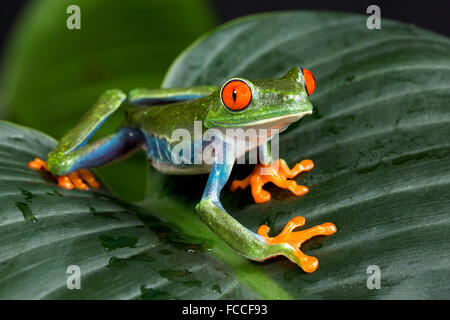Red eyed Tree Frog Banque D'Images