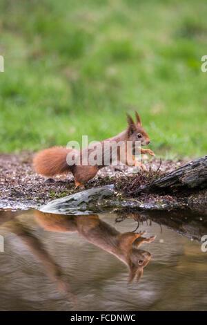 Pays-bas, 's-Graveland, 's-Gravelandse Hilverbeek Buitenplaatsen, domaine rural. Eurasian Écureuil roux (Sciurus vulgaris)