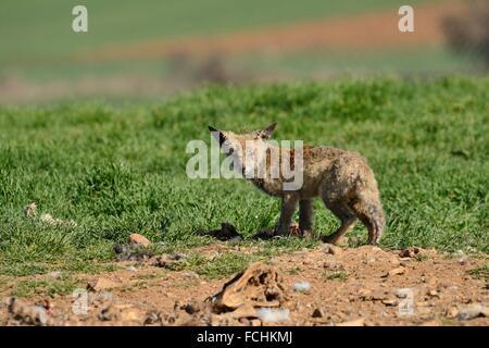 Le renard roux (Vulpes vulpes) souffrant de la gale sur un tas d'immondices à Campo de San Pedro, Ségovie, province Banque D'Images