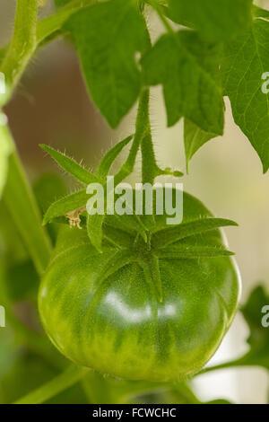 Libre de 1 Tomate verte sur une branche, de plus en plus vue à partir du haut Banque D'Images