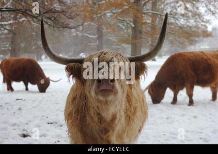 La vache des highlands en Ecosse Banque D'Images
