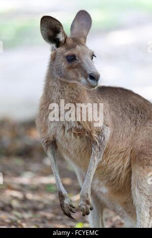 Portrait d'un kangourou rouge dans le Queensland, Australie Banque D'Images