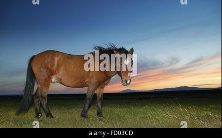 Cheval islandais, Islande