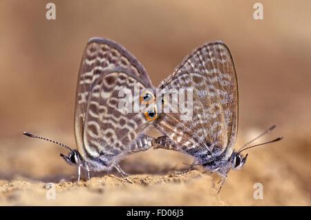 L'accouplement de papillons sur le sol Banque D'Images
