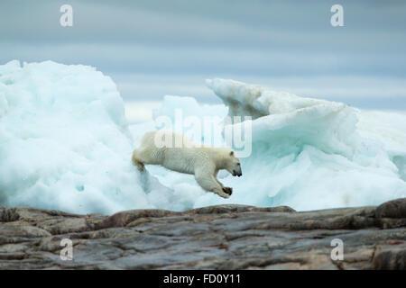 Le Canada, le territoire du Nunavut, Repulse Bay, l'ours polaire (Ursus maritimus) en changeant de la mer la fonte Banque D'Images