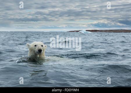 Le Canada, le territoire du Nunavut, Repulse Bay, l'ours polaire (Ursus maritimus) nager près de Harbour Islands Banque D'Images