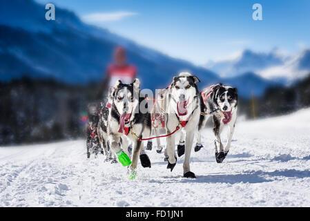L'équipe de chien sportif est en marche dans la neige Banque D'Images