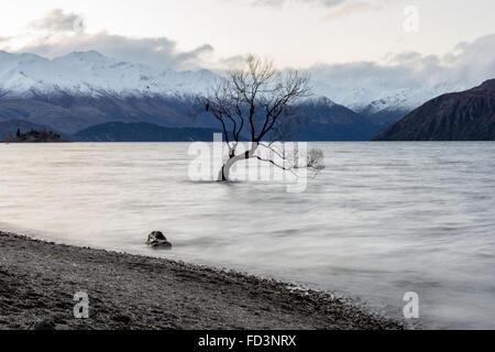 Que Wanaka arbre sur un après-midi gris sombre avec un oiseau solitaire assis dans l'arbre. Banque D'Images