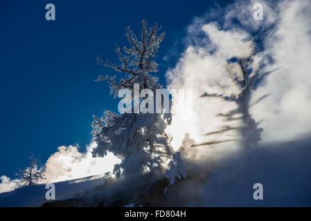 Le soleil jette de l'ombre de l'arbre couvert de neige sur la vapeur passant de Mammoth Hot Springs. Le Parc National de Yellowstone, Wyoming, USA.