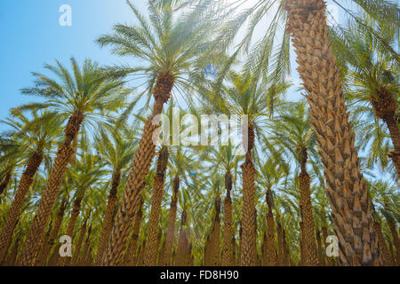 Un palm tree farm dans Imperial County, Californie Banque D'Images