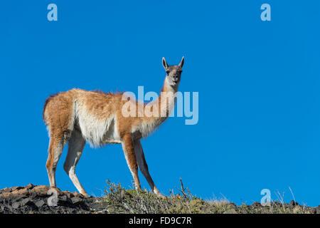 Guanaco (Lama guanicoe) sur une crête, le Parc National Torres del Paine, Patagonie chilienne, Chili