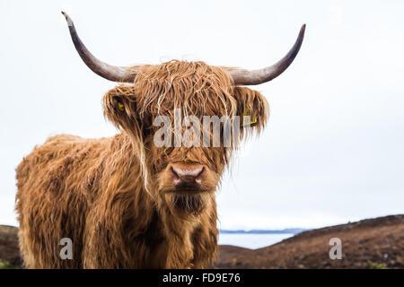 Vache Highland Banque D'Images