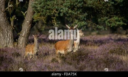Red Deer doe mère et son veau et l'un-année-vieille fille, dans blooming purple Heather Banque D'Images