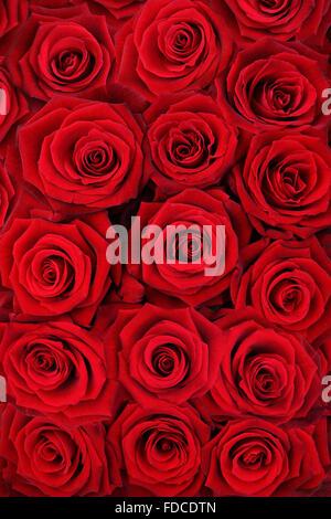 A l'arrière-plan de roses rouges. Banque D'Images