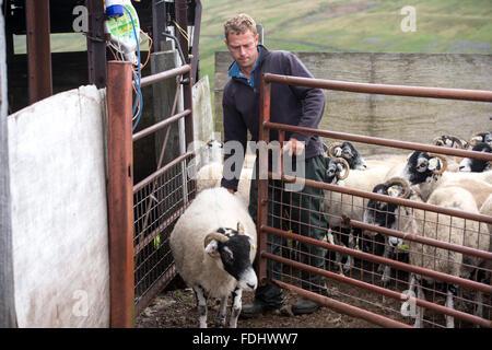 Agriculteur avec moutons Swaledale dans Yorkshire, Angleterre, Royaume-Uni. Banque D'Images