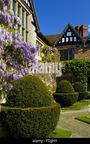Glycine et topiaires dans la cour en mai à Baddesley Clinton, Warwickshire.