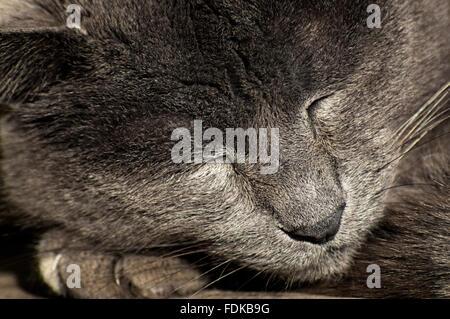 Portrait d'un chat bleu russe couchage Banque D'Images