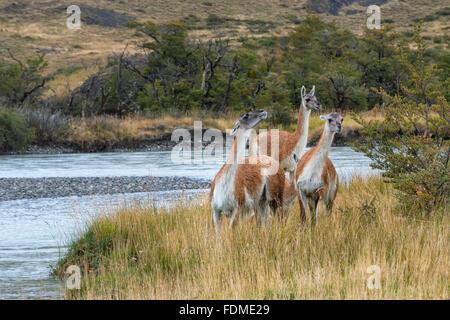 Guanacos (Lama guanicoe), Parc National Torres del Paine, Patagonie chilienne, Chili