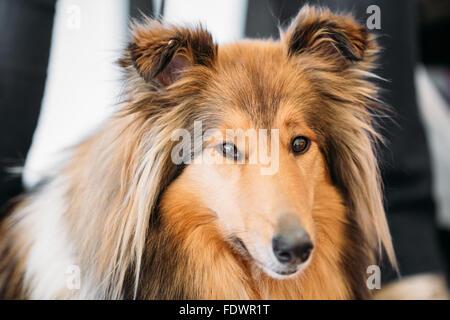 Le Shetland Sheepdog, souvent connu comme le Sheltie, Collie, est une race de chien de troupeaux. Ils sont bruyants, Banque D'Images