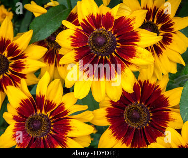 Rudbeckia hirta 'Denver' - Gloriosa Daisy Daisy Banque D'Images