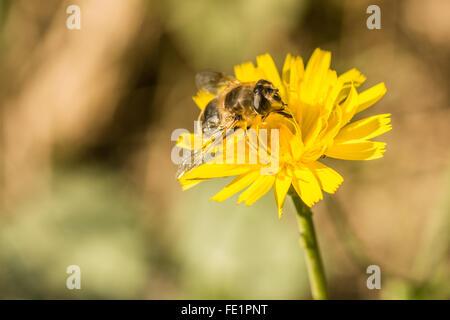 Abeille sur une fleur de pissenlit jaune pris à Wicklow Irlande Banque D'Images