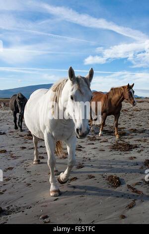 Chevaux sur la plage, le Magherees, péninsule de Dingle, comté de Kerry, Irlande. Banque D'Images