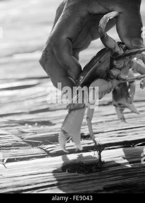 Portrait Of A Hand Holding Crab Banque D'Images