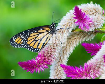Gros plan du papillon Monarque Danaus plexippus sur une fleur au Butterfly Estates à Fort Myers en Floride Banque D'Images