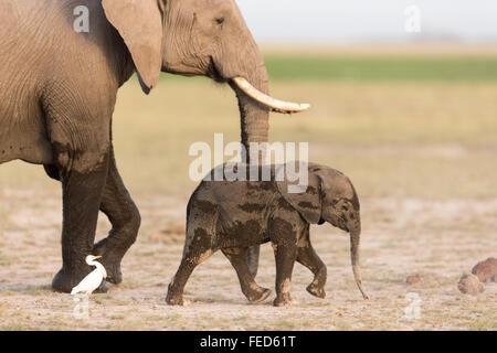 African Elephant Parc national Amboseli au Kenya