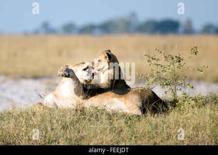 Une lionne joue avec son cub Banque D'Images