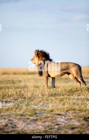 L'African Lion dans la brousse